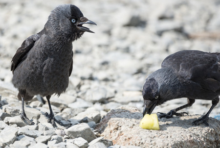 jackdaw: Two jackdaw birds fighting over a chunk of pineapple Stock Photo