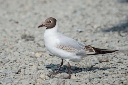 shingle beach: Juvenile black headed gull walking along a shingle beach