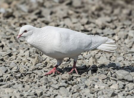 shingle beach: Release dove searching for food on a shingle beach Stock Photo