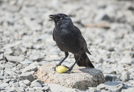 jackdaw: Jackdaw perched on a rock with a piece of fruit Stock Photo