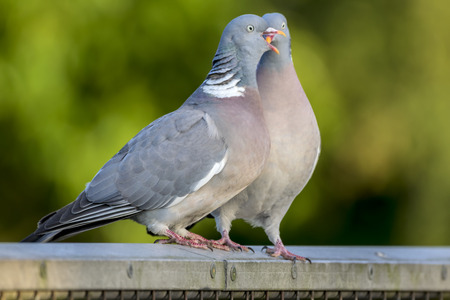 courting: Two wood pigeons courting on a metal fence in the forest