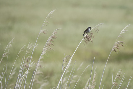 Tall grass background with a reed bunting perched high in the reeds