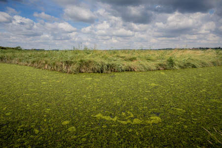 green algae: Green algae covering a Suffolk waterway starving it of oxygen