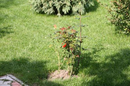 rose bush: Rose Bush