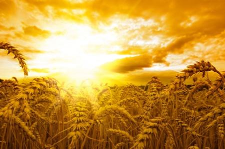 Golden sunset over wheat field Stock Photo - 8518548