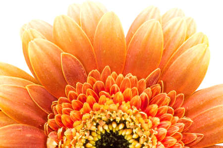 Orange daisy isolated over white photo