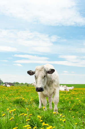 Cows in a beautiful dandelion covered field. photo