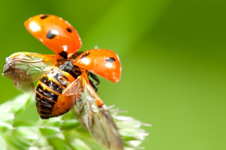 Red little ladybird flying away from fresh green grass Stock Photo