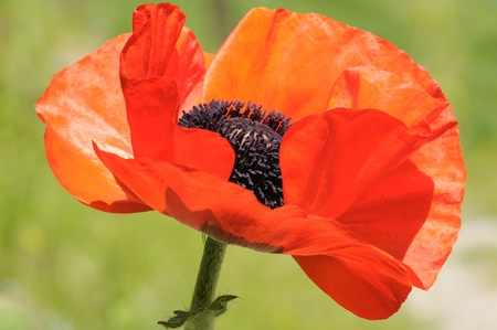 Red poppy photo