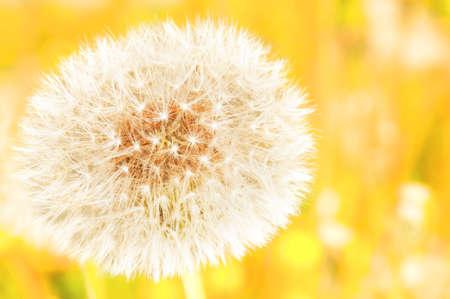 Closeup on dandelion highlighted by sun photo