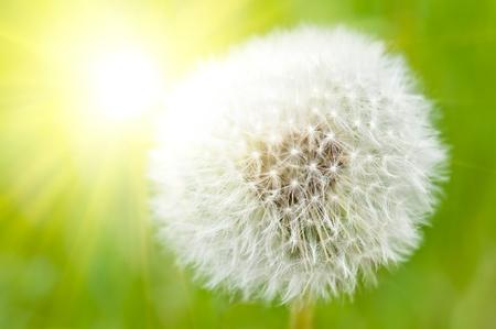 Closeup on dandelion highlighted by sun Stock Photo - 9188026