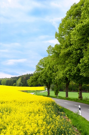 rapaseed: Country road making a curve with yellow rapeseed on the left.
