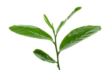 Fresh tea leafs photo