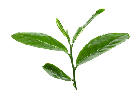 tea plantation: Fresh tea leafs