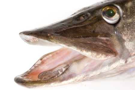 Pike head close-up, isolated over white photo