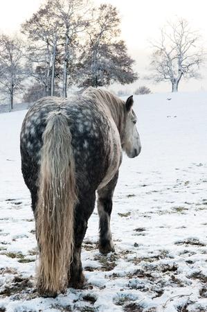 Dapple grey horse in snowy winter setting photo