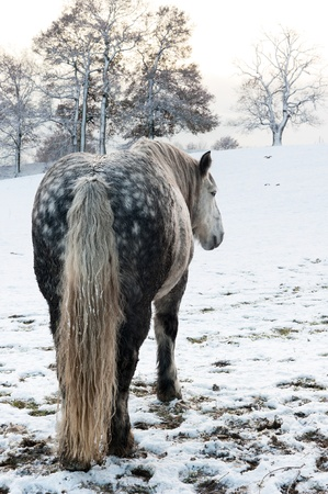 Dapple grey horse in snowy winter setting photo