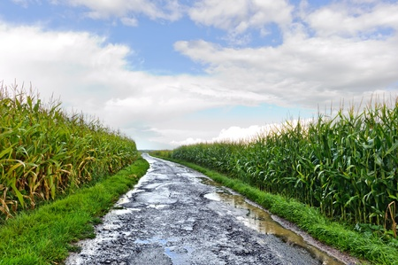 corn stalk: Country road between corn fields just after rain