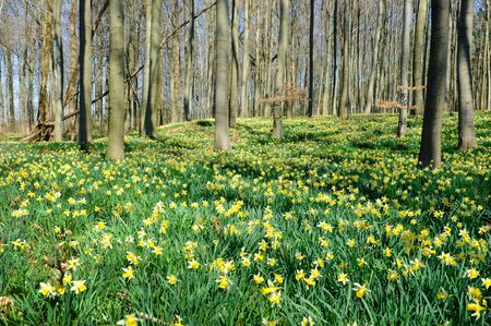 Forest covered with a daffodils carpet photo