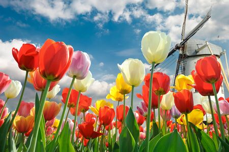 tulips in green grass: Multicolored tulips with windmill background