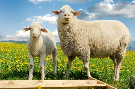 Mother sheep and her lamb in dandelion field  Stock Photo