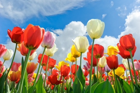 Multicolored tulips on a blue sky background