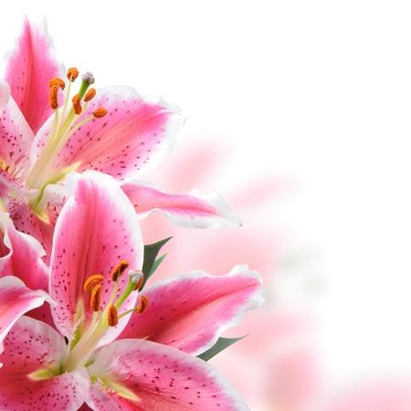 Pink lilies on a white background Standard-Bild