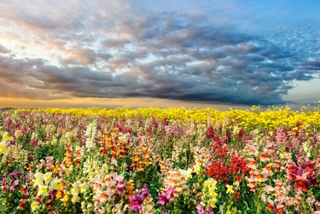 snapdragon: Colorful summer field with snapdragon and yellow daisy flowers