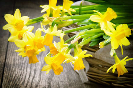 Spring yellow narcissus in a rustic wicker basket photo