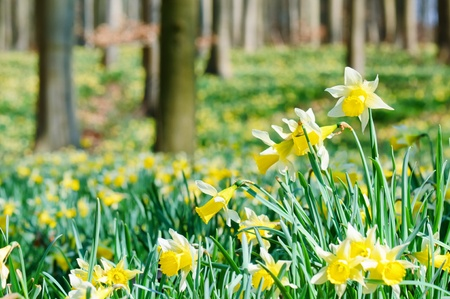 shallow dof: Forest covered with a daffodils carpet. Shallow DOF Stock Photo
