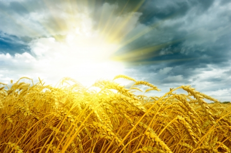 Golden sunset over wheat field at summer time photo