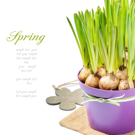 turf flowers: Fresh bulbs of Grape Hyacinth in a pot over white
