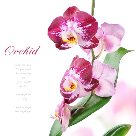 white orchid: Purple orchid isolated on white background Stock Photo