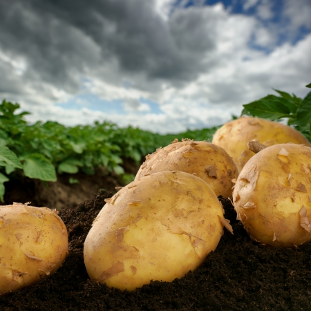 Freshly dug potatoes on a field with dramatic sky