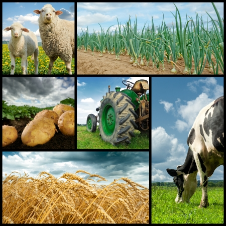 potato field: Agriculture collage. Cow, sheeps, wheat, onion, potato, tractor Stock Photo