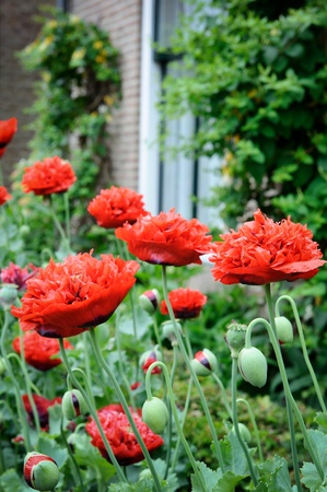 opium poppy: Red poppies in backyard at summer time