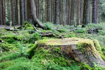 Large tree stump in green summer forest