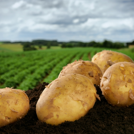 potato field: Freshly dug potatoes on a summer green field