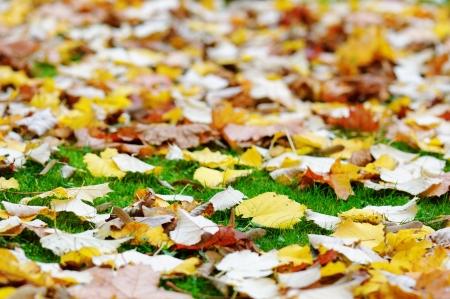 dof: Autumn leaves on green grass. Shallow DOF