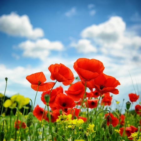 Poppies on summer green field photo