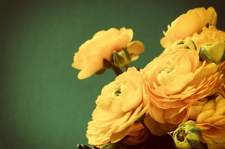 Yellow ranunculus flowers on green background photo