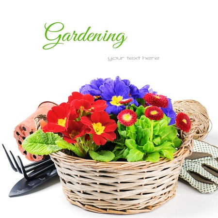 primula: Colorful flowers in wicker basket with garden tools