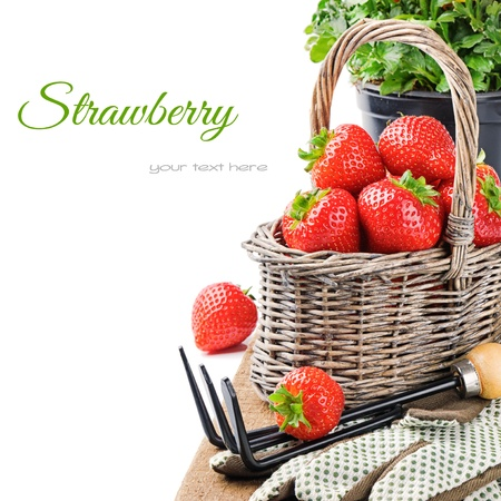 gardening gloves: Fresh strawberry in a basket with garden tools