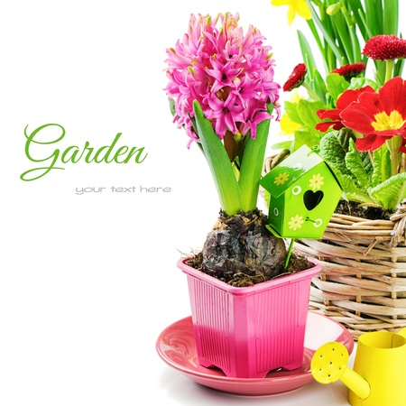 text pink: Pink hyacinth flower with bulb isolated over white