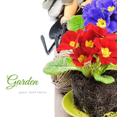 weeding: Colorful primrose flowers and garden tools. Gardening concept Stock Photo
