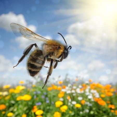 miel de abeja: Abeja volando sobre colorido campo de flores en el día de verano