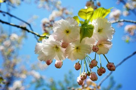 Spring Japanese cherry blossom background photo