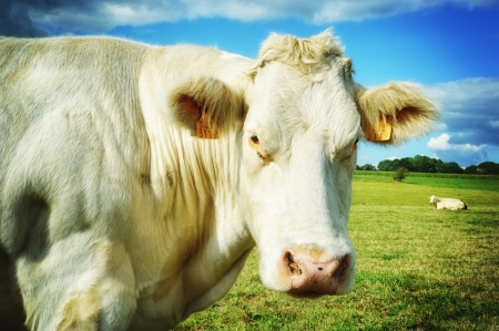 Close up of cow at green field Stock Photo - 20243556