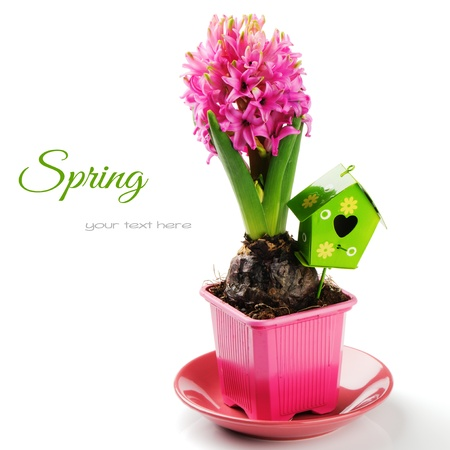 Spring setting with pink hyacinth isolated over white photo