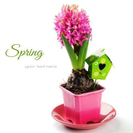 Paramètre de printemps avec jacinthe rose isolé sur blanc